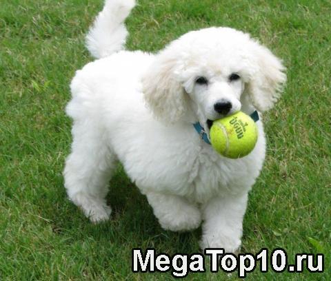 Самые умные породы собак в мире (фото)