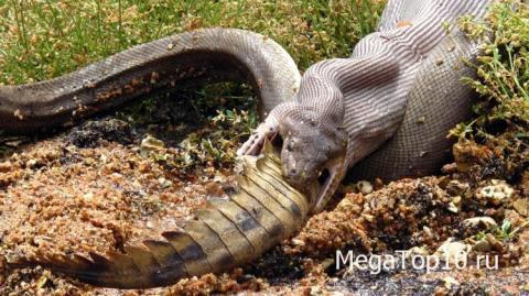 Самые невероятные фотографии из Австралии - змея съела крокодила