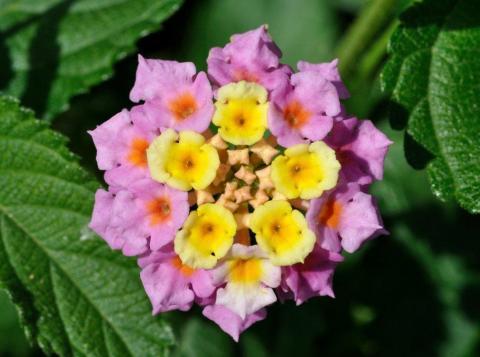 Самые красивые цветы в мире - Лантана